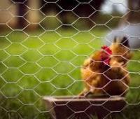 Cerca de arame para galinheiro